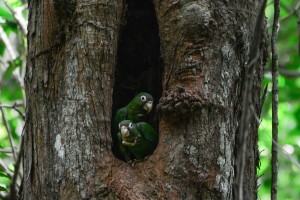 Cotorras en nido natural 5 (padres)