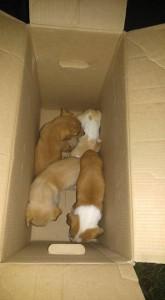 perritos-en-caja